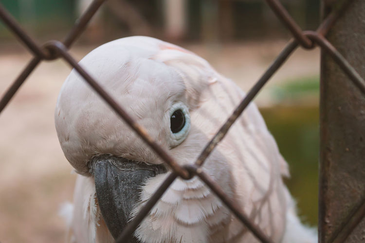 Close-up of pink cockatoo behind fence