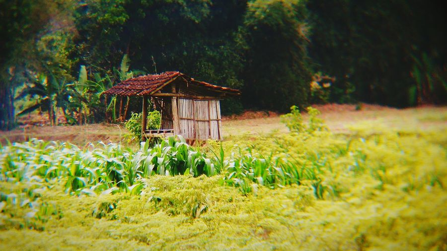 Loneley Hut Paddy Field Hut Huts Field Nature Photography Outdoors EyeEm Nature Lover EyeEm Indonesia EyeEm On The Week My Favorite Place