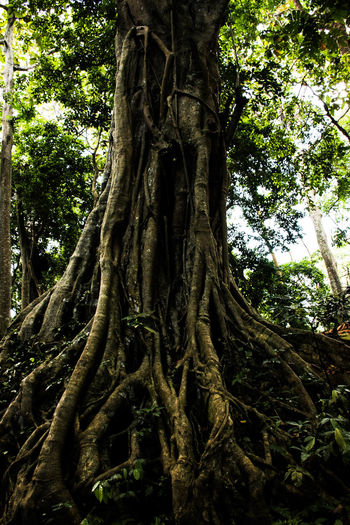 Bali, Indonesia Tree Plant Trunk Tree Trunk Growth Nature Land Low Angle View Beauty In Nature No People Day Tranquility Forest Plant Part Branch Outdoors Root Green Color WoodLand Textured  Bark Rainforest