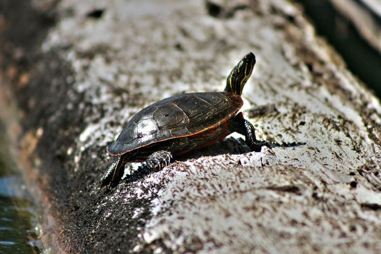 Turtle Log Adventures One Animal Animal Themes Animals In The Wild Animal Wildlife Nature High Angle View Outdoors Day Close-up Beauty In Nature