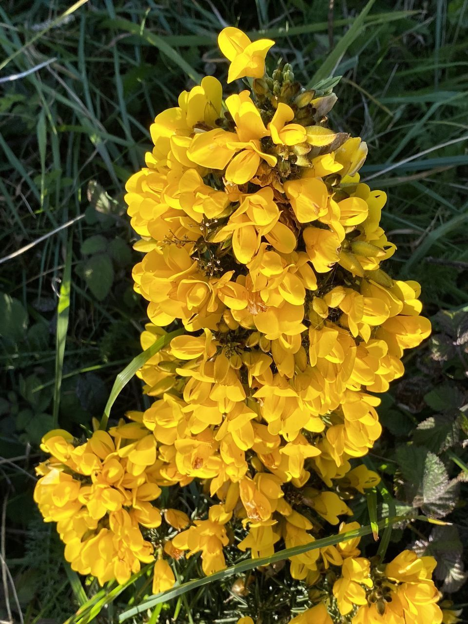 CLOSE-UP OF YELLOW FLOWERING PLANT IN BLOOM