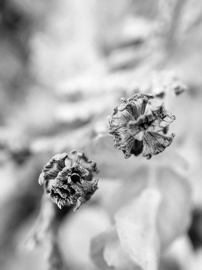 Flower macro Monochrome Photography Flower Petal Close-up Freshness Flower Head Fragility Focus On Foreground Selective Focus Beauty In Nature Nature Growth Botany Springtime Blossom In Bloom Softness No People Dried Plant Maximum Closeness Macro Photography Macro