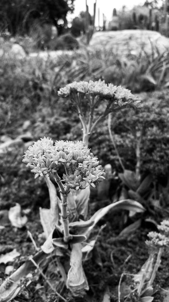 Beauty In Nature Black And White Blooming Close-up Day Field Flower Flower Head Focus On Foreground Fragility Freshness Growth Monochrome Nature No People Outdoors Plant