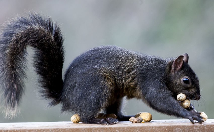 Close-up of squirrel holding peanuts on wooden plank