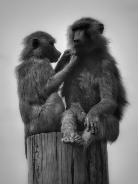 Baboons grooming time Two Animals Animal Wildlife Togetherness Animals In The Wild Nature Baboon Close-up Animal Themes Fujifilm Malephotographerofthemonth Creative Light And Shadow The World Through My Eyes Monochrome Photography Bnw_captures Black And White Collection  Black And White Photography Masterclass Beauty In Nature Wildlife & Nature Wildlife Photography Baboon Portrait