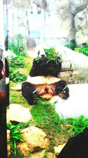 Mr. Panda says Hi 🐼