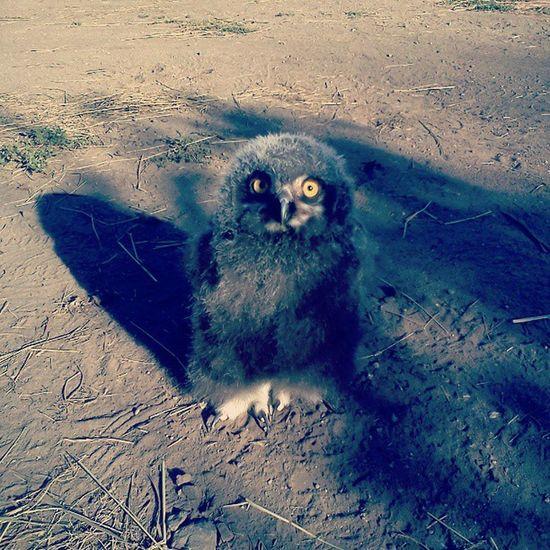 Owl Baby Bird Hedwig