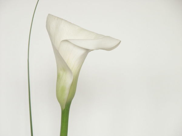 Flowering Plant Flower Calla Lily White Background Freshness Plant No People Close-up Fragility Flower Head Beauty In Nature Inflorescence Vulnerability  Copy Space Indoors  White Color Nature Calla Lily Calla White Calla Lily Flower White Calla Lily Copy Space Minimalism Minimal LINE