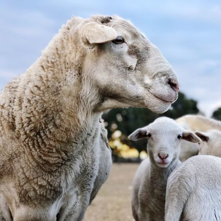 Sheep Animal Mammal Group Of Animals Animal Themes Livestock Domestic Animals Pets Focus On Foreground Domestic Sheep Two Animals