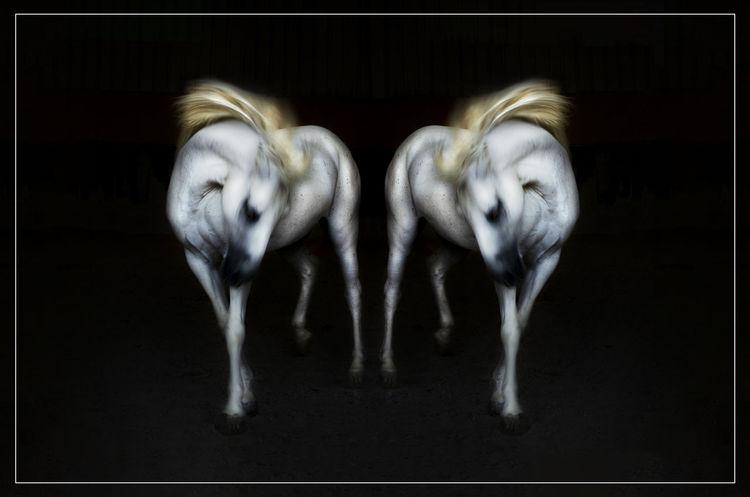 Horse Simetry Simetry Horse Multiple Image Black Background Studio Shot Motion Close-up