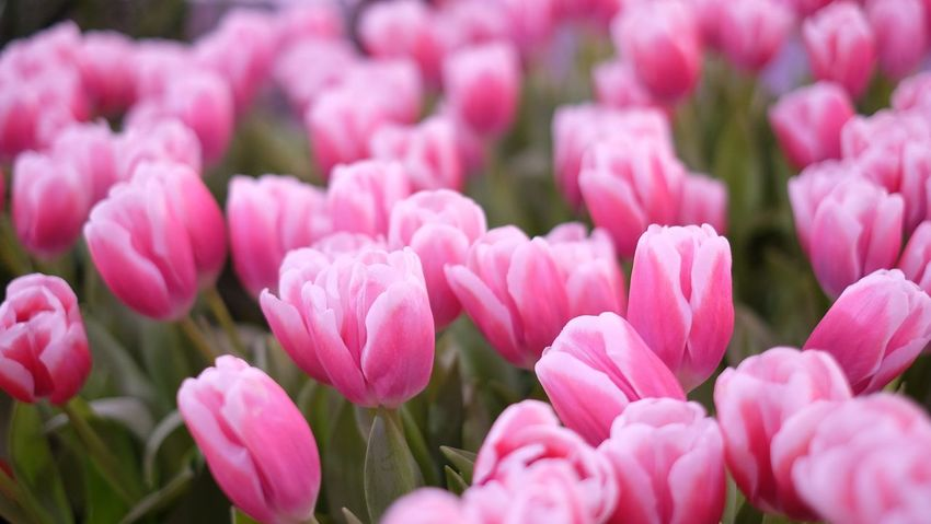 Tulips Flowers EyeEm Selects Flower Pink Color Nature Beauty In Nature Fragility Petal Plant Blooming Backgrounds Growth Flower Head Close-up Freshness Day Outdoors No People