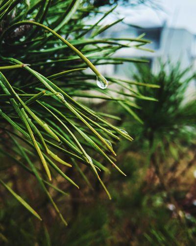 Close-up of wet pine tree