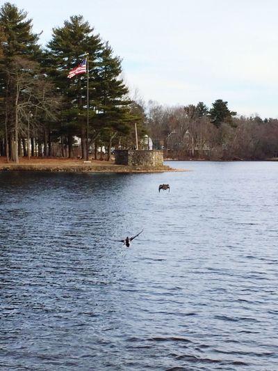 Ducks Ducksinflight Pond Windy Day Flag Pole Nature Peacful