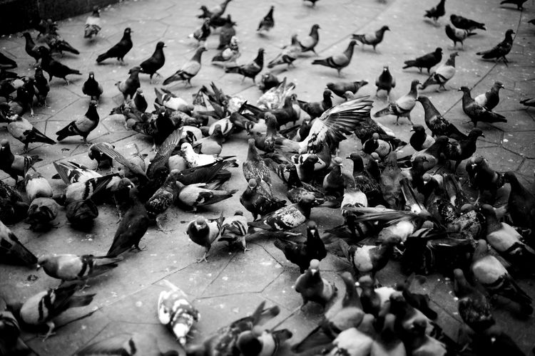 a flock of pigeons Abundance Animal Animal Themes Animals In The Wild Avian Bird Black And White Flapping Flock Of Birds Flying High Angle View Nature No People Non-urban Scene Pigeon Pigeons Togetherness Tranquility Vertebrate Wildlife Zoology