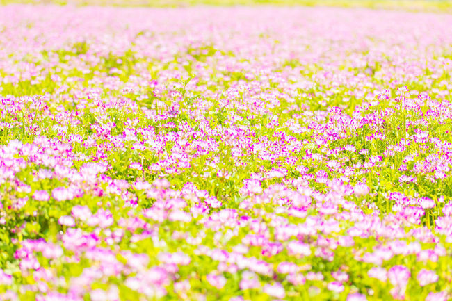 Flower Flowerbed Flowering Plant Plant Springtime れんげそう