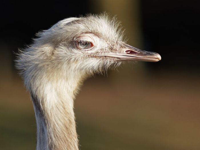 EyeEm Selects Bird One Animal Animal Animal Themes Ostrich Outdoors