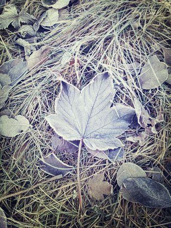 Soon Winter Frosty Leaf loveit!