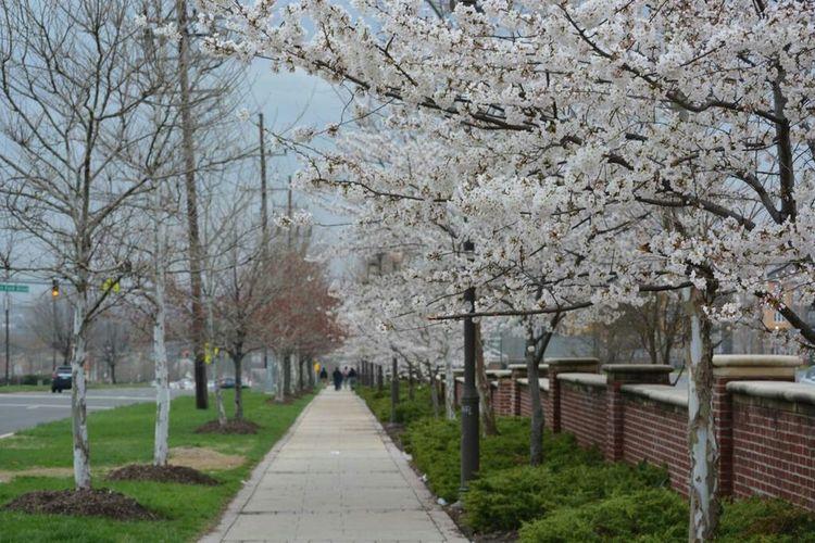 No Filter No Edit Hyattsville Maryland Cherry Blossoms Cherry Blossom Cherry Blossom Tree