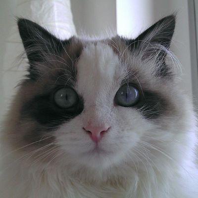 Si tuviera que votar un sonido para la paz sería el ronroneo Srenrique Gatolicismo Gato Gat cat ronronear ronroneo