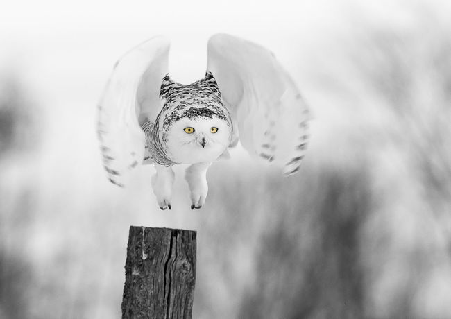 Animal Themes Bird Close-up Day Nature No People One Animal Outdoors Owl Snow Owl Spread Wings