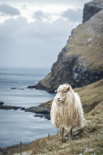 Sheep Snowing Sheep🐑 Snow Snow Covered Faroe Faroe Islands Faroeislands Wildlife Animals In Captivity Animals In The Wild Nature Animal Wildlife Cliffs Seascape Sea Widllife Wildlife & Nature