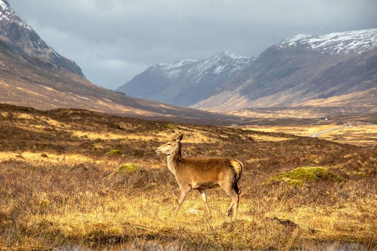 View of giraffe on field against mountain range