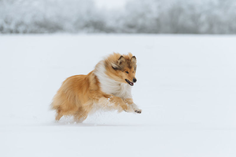 One Animal Snow Mammal Animal Animal Themes Canine Dog Cold Temperature Winter Pets Domestic Domestic Animals Vertebrate Running Day No People Looking Away Nature Focus On Foreground Collie Collie Dog Sheltie Winter