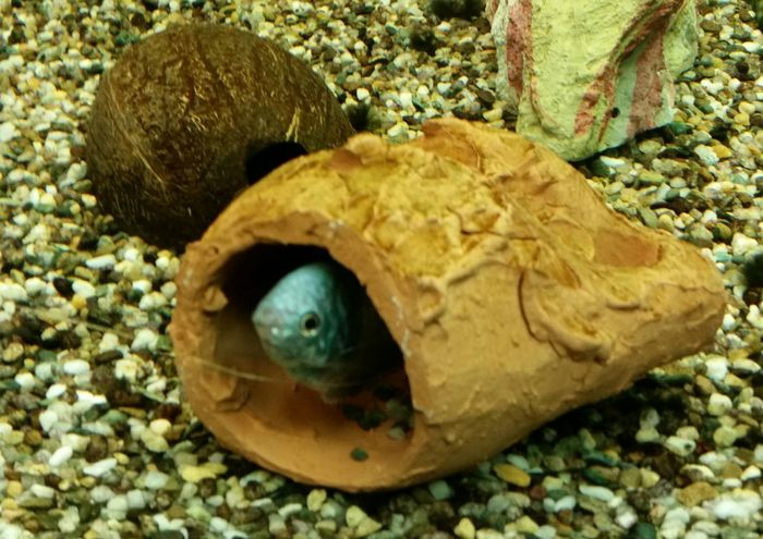 Tricogaster in tana Acquariofilia Acquario Acquarium Acquari Reef Reefs Tanks Tank Fish Tank Tricogaster
