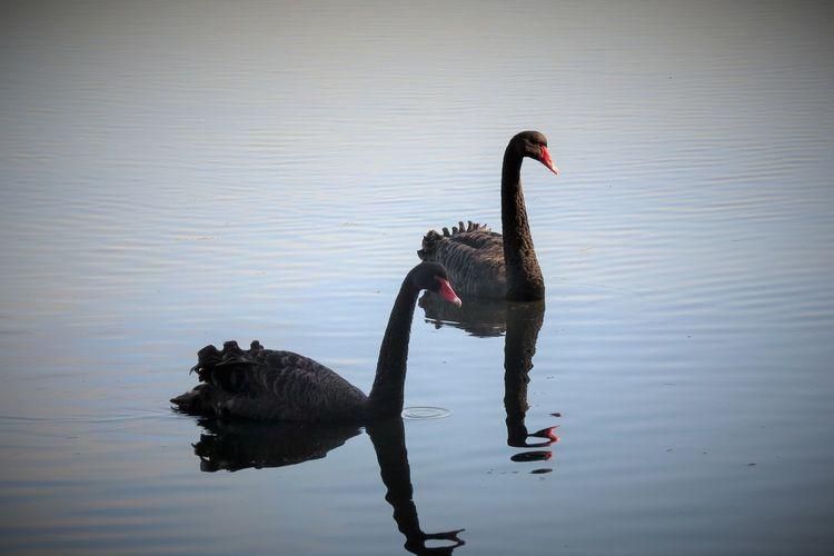Black Swans Australian Birds Bird Watching
