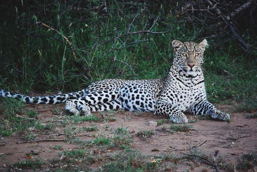 Leopard Kenya Africa Wildlife Animals Masai Mara