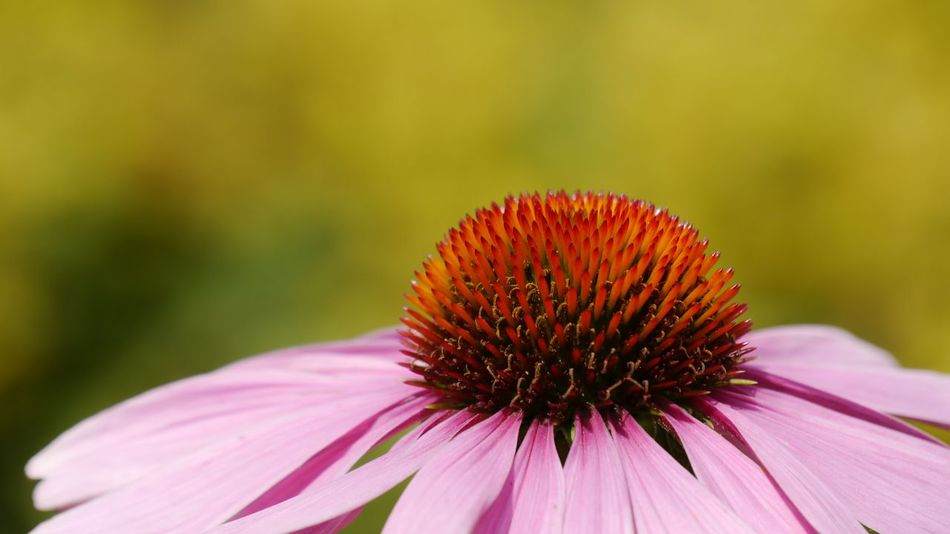 summer memories High Section Echinacea Purpurea Green Background Focus On Foreground In Full Bloom Details Of Nature EyeEm Gallery EyeEm Nature Lover In My Garden Summer Flower Eastern Purple Coneflower Coneflower Fragility Purple Plant Nature Outdoors Petal Close-up Flower Head Pink Color Freshness Beauty In Nature No People