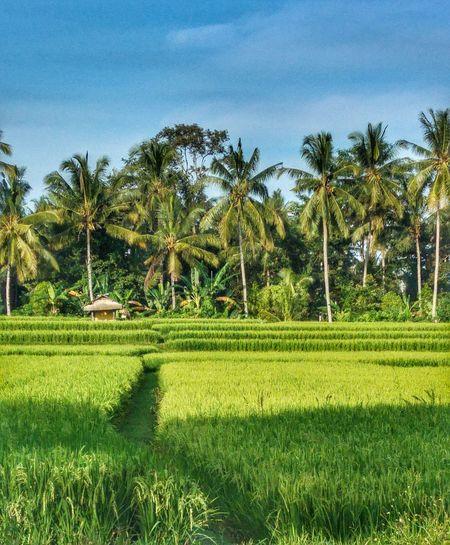Ricepaddies Bali Beauty In Nature Picoftheday EyeEm Best Shots