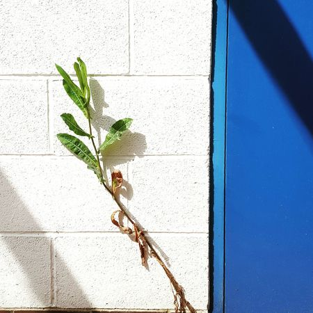 White Background White Wall And Plant White And Blue June Showcase June 2016