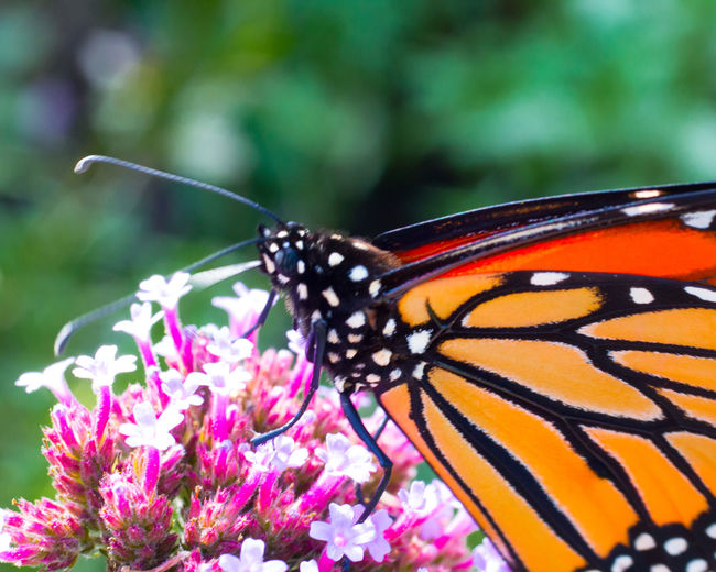 Beauty In Nature Butterfly Butterfly On Flower Close-up Day Flower Fragility Insect Monarch Nature No People Orange Insect Outdoors Pink Flower Pollination