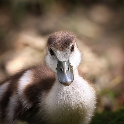 Egyptian Gosling Animal Themes Animal Wildlife Animals In The Wild Beak Bird Close-up Day Gosling Nature No People One Animal Outdoors Young Animal Young Bird