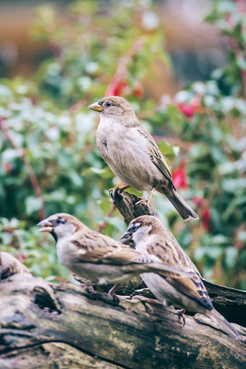 House sparrows perched on a tree trunk Animal Themes Animal Wildlife Animals In The Wild Avian Bird Branch Close-up Day Feather  Focus On Foreground Garden House Sparrow Nature No People One Animal Ornithology  Outdoors Passer Domesticus Perching Sparrow Tree