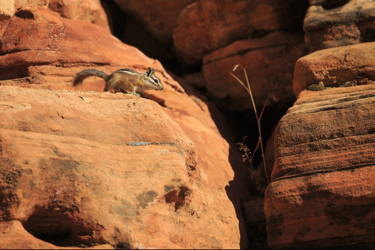 Low Angle View Of Squirrel On Rock Formation At Zion National Park During Sunny Day