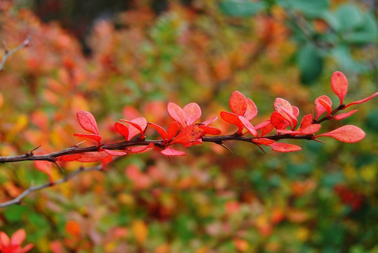 growth branch bush leaves Leaves🌿 Green Color No People Beauty In Nature Day Outdoors Change Maple Leaf Close-up Nature Autumn Red Leaf Cityparking Landscape Garden Photography Beauty Multi Colored Petal Blooming Macro Photography Photographer Orange Color Photos Orange Tree Branches And Leaves needles