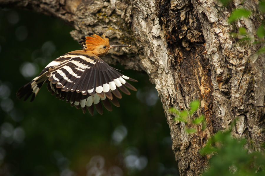 Wildlife photography of a hoopoe from a forest near Bistrita, Romania. Green Tree Animal Animal Themes Animal Wildlife Animals In The Wild Background Beauty Bird Branch Close-up Flying Forest Hoopoe Nature One One Animal Outdoors Single Summer Tree Trunk Wild Wildlife Wings Woods