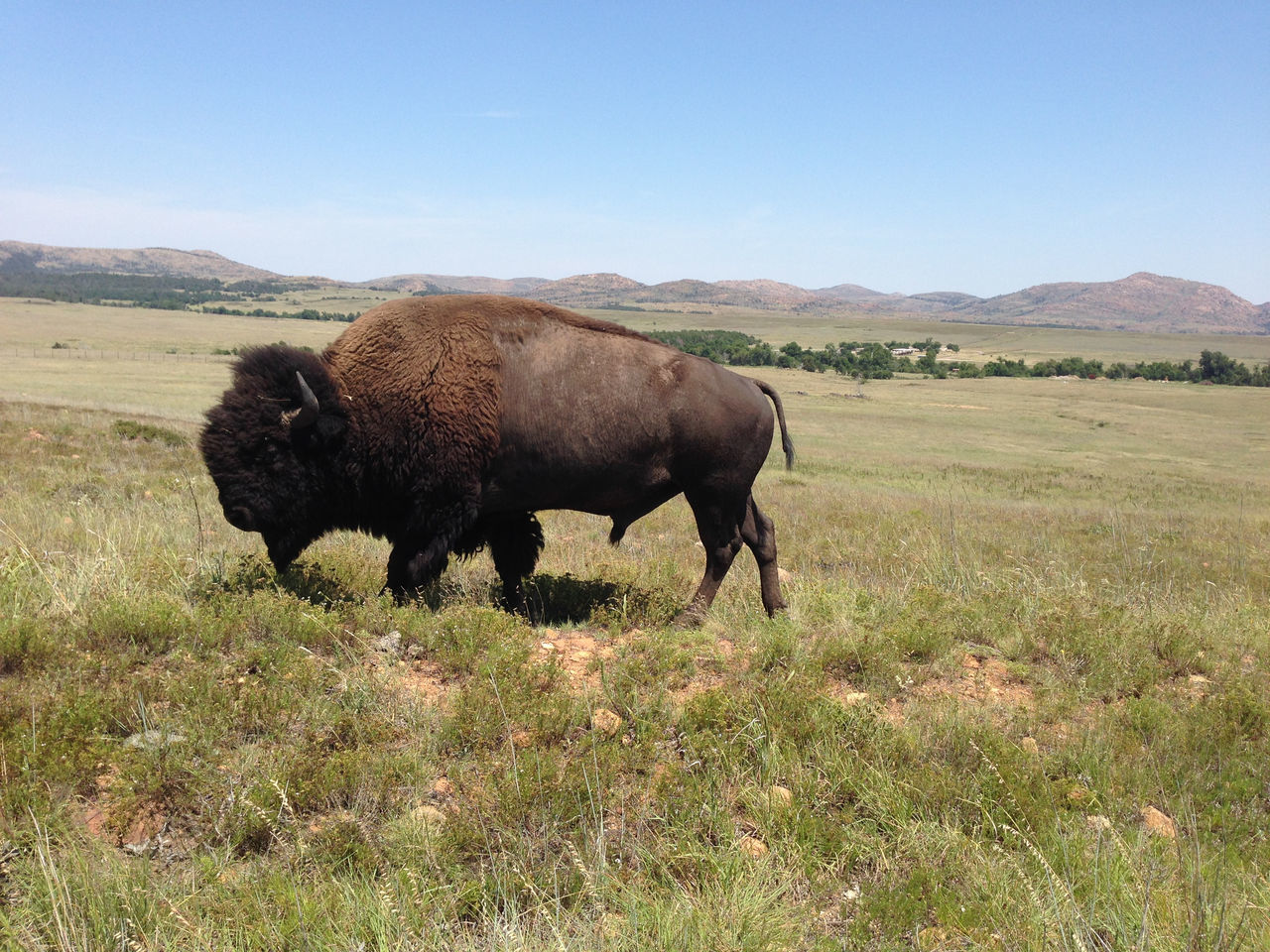 one animal, animal themes, mammal, field, landscape, nature, grass, bull, no people, animals in the wild, beauty in nature, outdoors, day, domestic animals, american bison