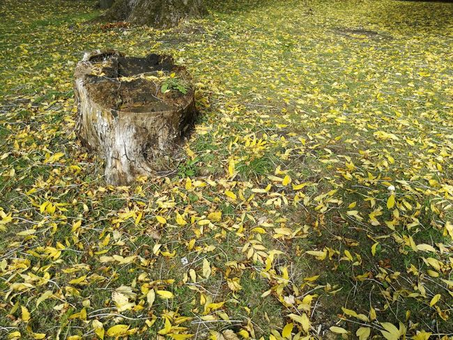 Tree stump surrounded by fallen leaves Tree Stump Autumn Fall Leaves Park Backgrounds Full Frame High Angle View Grass Close-up Leaf Fallen Leaf