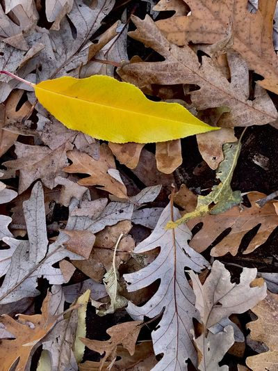 Leaf Autumn Change Yellow Day Outdoors Close-up No People Nature Fragility Oak Minnesotaphotographer