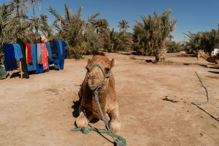 Marrakesh Marrakech Tourist Attraction  Travel Destinations Travel Photography Morocco Tree Domestic Animals Mammal Animal Themes Pets Domestic Camel Camel Riding Animal Working Animal Outdoors Arid Climate Climate Herbivorous No People Desert Clothing One Animal