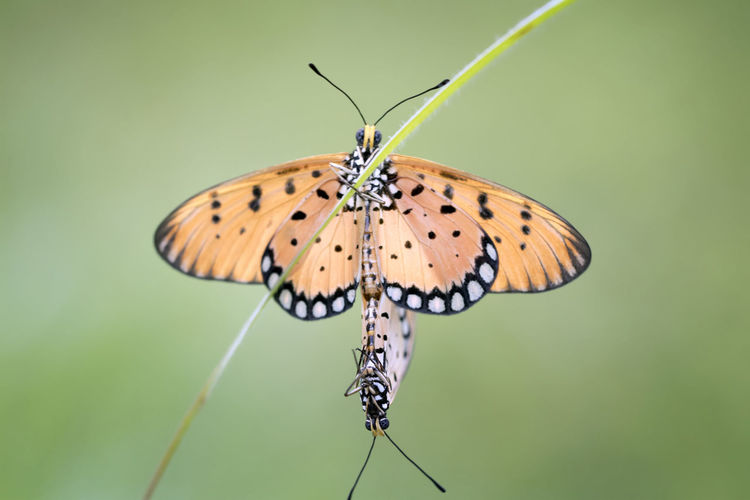 Butterflies mating and flying around the garden, colorful with bokeh and green natural background