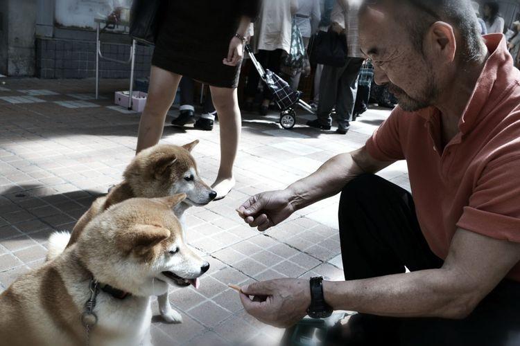 Japanese Style Shiba Inu Adorable Dog