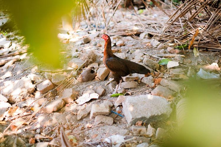 HD EyeEm Selects Hen Chicken Front Focus Backyard Green Animal Cattle Rock Bird Reflection Duck Swamp Wetland Chicken - Bird