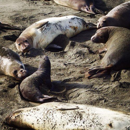 Close-up of elephant seals sleeping at beach
