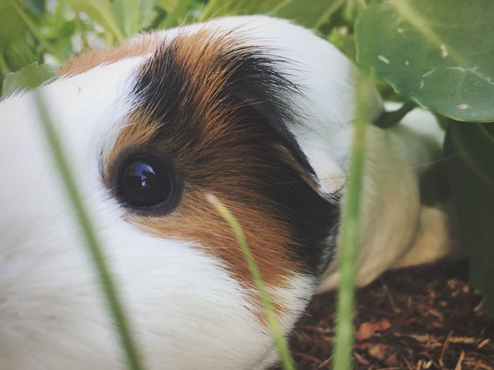 EyeEm Selects One Animal Animal Themes Domestic Animals Pets Mammal Close-up Day Indoors  No People Portrait Nature Grass Pet Pet Photography  Hide And Seek Peekaboo Guinea Pig Friend Cute Shy