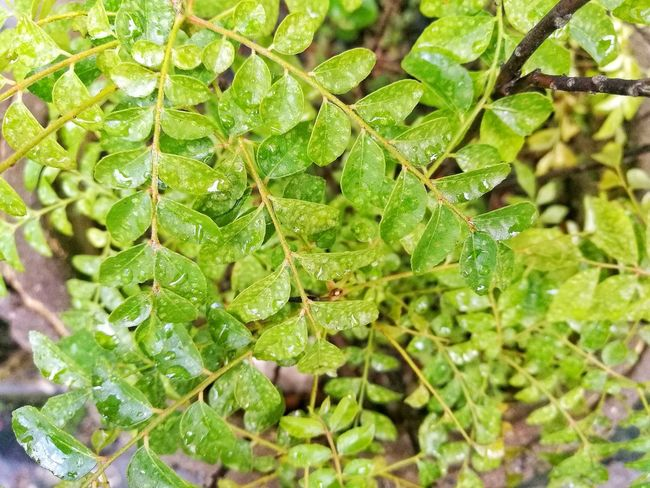 Rainy day Curry Leaves Herbs Cooking Aroma Aromatic Green Waterdrops Rain Rainy Days ASIA Kitchen Garden Green Color Nature Plant Leaf Growth No People Close-up Beauty In Nature Freshness Outdoors Day