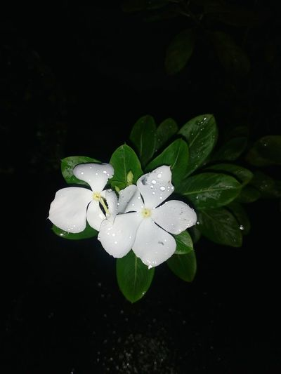 Directly above shot of white periwinkle blooming at night